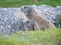 Marmota en estado salvaje