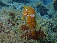 Cavalluccio marino sul fondo del mare