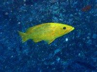 Pesce giallo