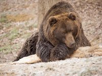 Conoce al oso pardo