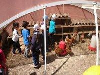 Atendiendo a las gallinas