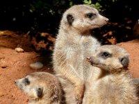 Familia de suricatas en el parque