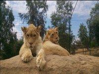 Jovenes leones en nuestro parque