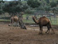 Atentos camellos