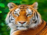 Tigre de cerca