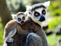 Cría de lémur con su madre