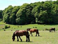 Caballos pastando junto al bosque