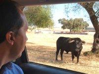 Observando al toro desde el vehiculo