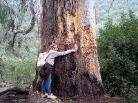 Abrazando el eucalipto