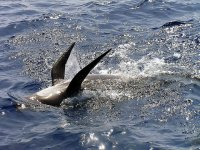 avistamiento de cetaceos alboran