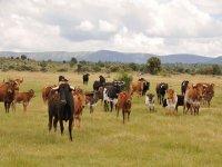 标志公牛在牧场segoviana