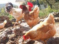 农场的母鸡