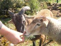 Alimentando a los muflones