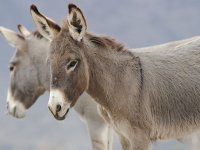Baby burros