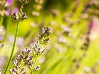 阿拉莫农场蜜蜂薰衣草