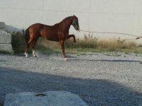 caballo marron