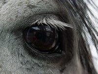 Magnifico ojo de equino
