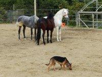 Los caballos con el perro