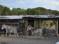 burros andando en la cuadra