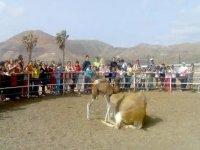 camellos en lanzarote