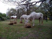 Caballos pastando al aire libre