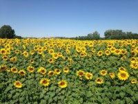 向日葵在Aranda农村领域