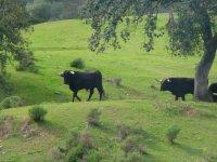 Toros de lidia en el prado