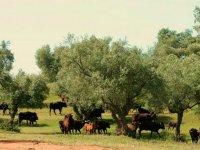 Viendo el ganado de lidia