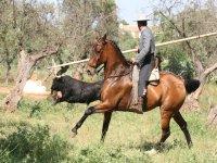 Disponemos de toros y caballos de trabajo