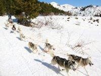 Perros de mushing tirando del trineo