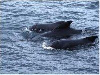 Balene pilota nell'Atlantico settentrionale