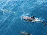 加那利群岛的海豚