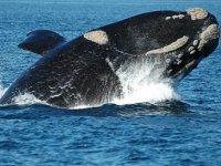 Observa grandes cetáceos