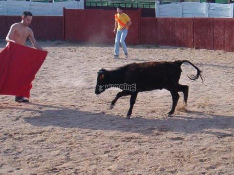 对小母牛的斗牛