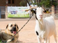Perro y cabra