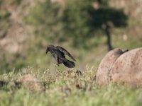 Fotografia de cuervo realizada por estudiante de Huerta de canamares