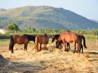 Horses grazing in semi-freedom