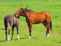 两匹马在草地上