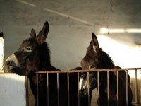 Los burros de los limoneros