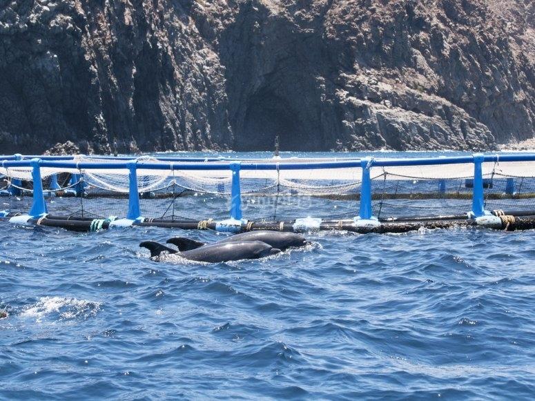 Los delfines en Palm Mar
