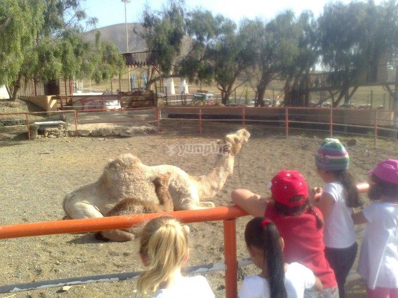 Camello tumbado
