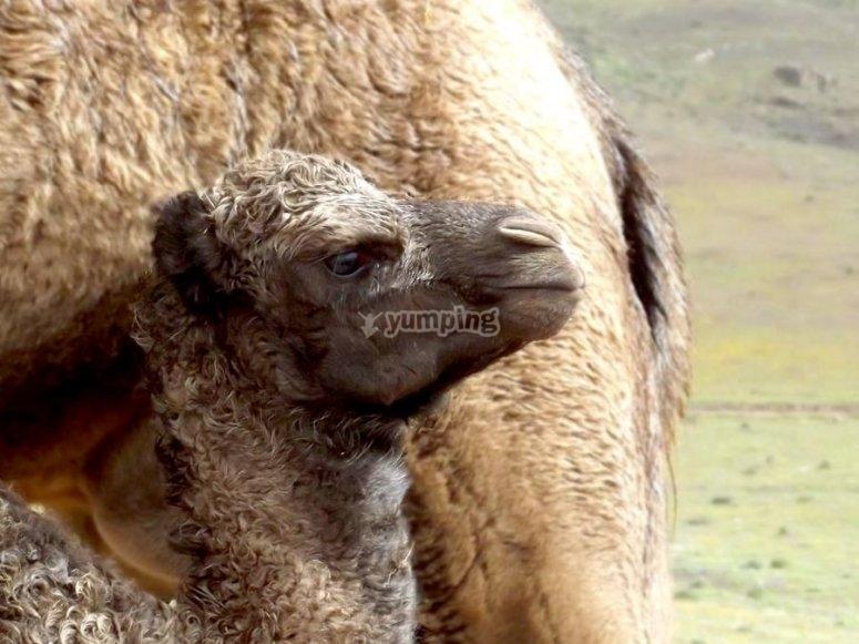 Allevamento di cammelli
