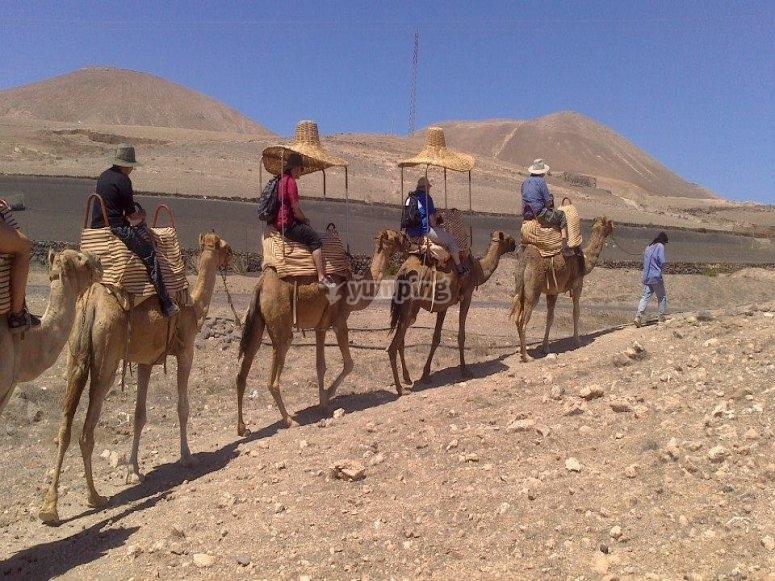 Gruppo di cammelli