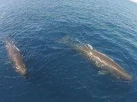 cachalotes nadando