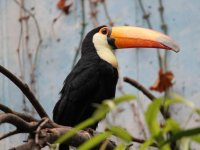 A beautiful Tucan