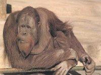 Los simpáticos Orangutanes