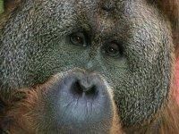 Gran orangutan