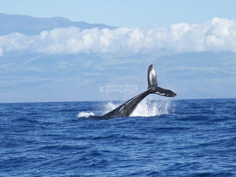 Cola de ballena fotografiada