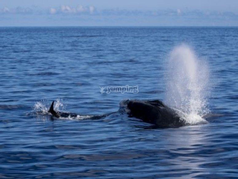 Ballena azul en Canarias