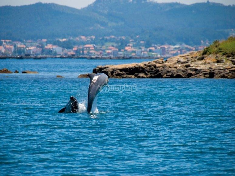 Delfines mulares saltan en la ría de Arousa (foto de revistaquercus.es)